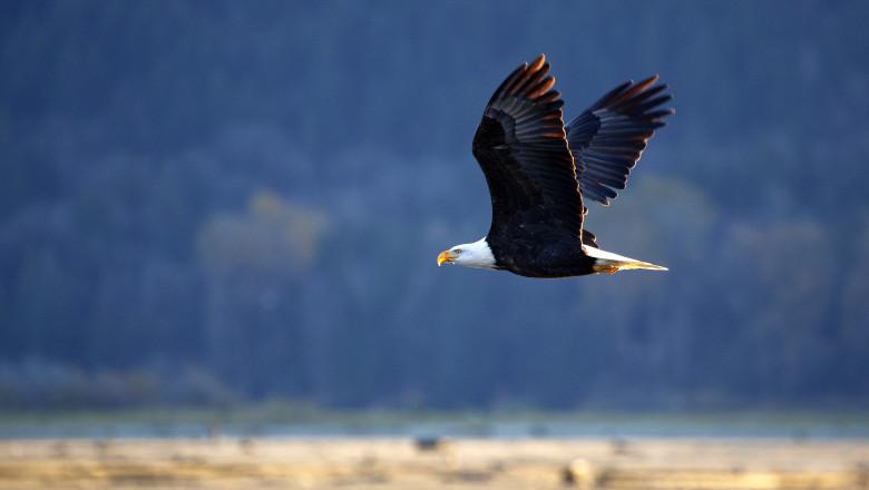 Un vultur a doborât și a distrus o dronă aparținând guvernului american