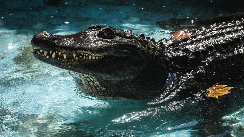 Cel mai bătrân aligator crescut în captivitate a murit la vârsta de 83 de ani, la o grădină zoo din Belgrad