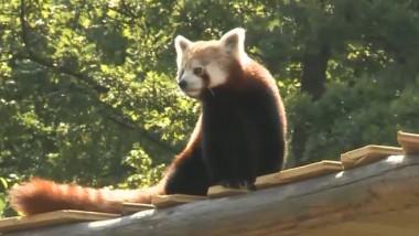 panda rosu1