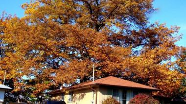 """Primăria din Toronto încearcă să salveze un stejar, un """"Rolls-Royce al copacilor"""", cu o vârstă mai mare decât cea a Canadei"""