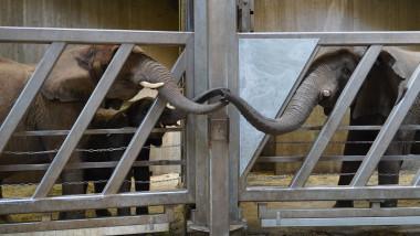 """Momentul emoționant în care o femelă elefant își """"îmbrățișează"""" cu trompa fiica reîntâlnită după 12 ani, la un zoo din Germania"""
