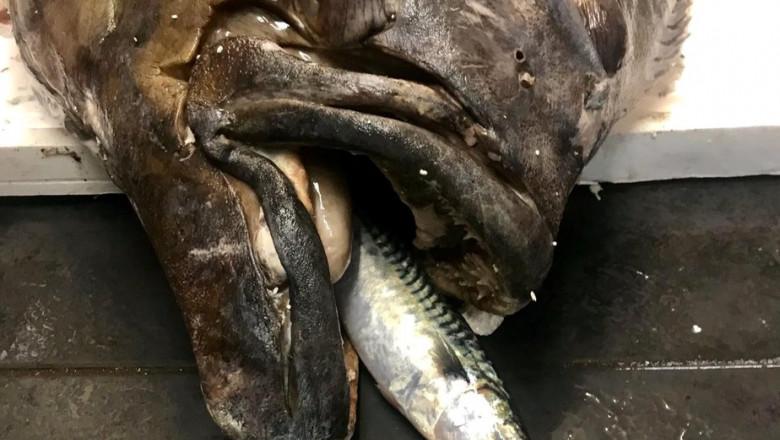 pește uriaș Marea Britanie