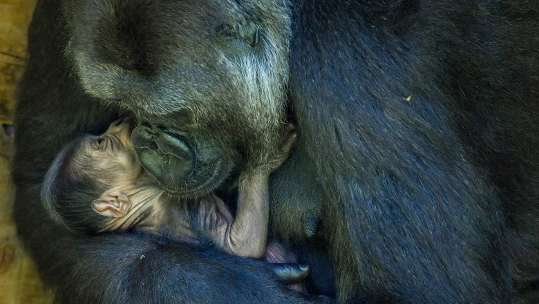 Bristol Zoo Gardens baby gorilla