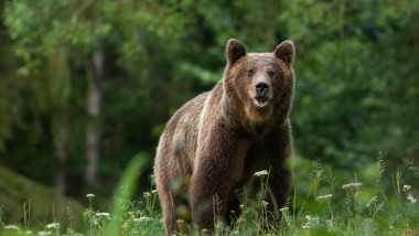 Large Carpathian brown bear portrait in the woods Europe Romania.