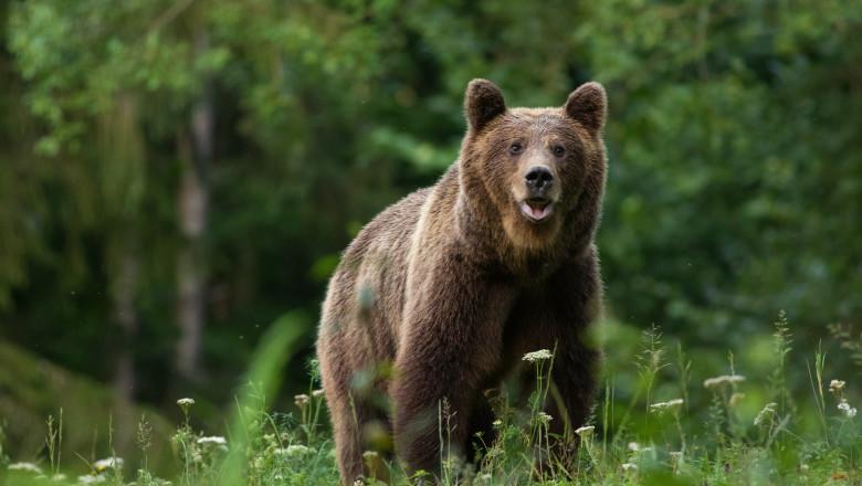 Large Carpathian brown bear portrait in the woods Europe Romania.