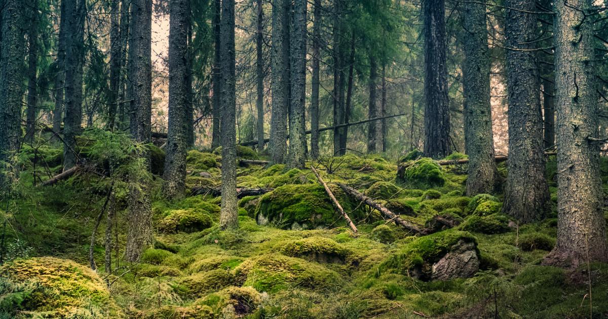 Păduri de molid în Maramureș | peterlengyel