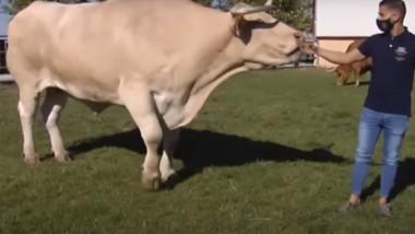 VIDEO. Cum arată cel mai mare taur din lume, care cântărește peste două tone. Zilnic consumă 70 de litri de apă și 50 kg de hrană