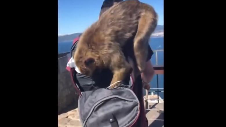 macaci jefuind un britanic - captura