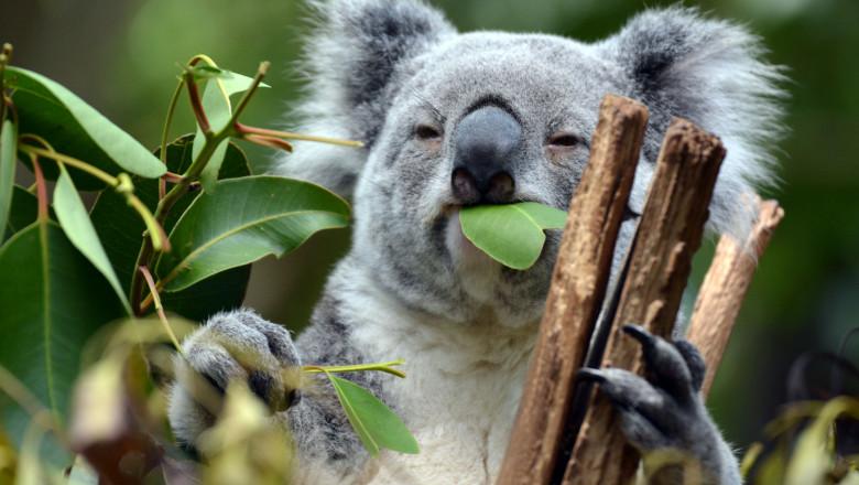 Un urs koala se hraneste cu frunze de bambus