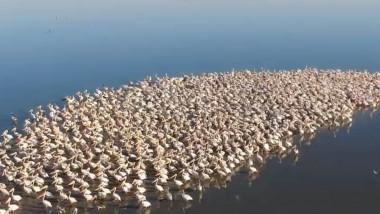 pelicani pe lac