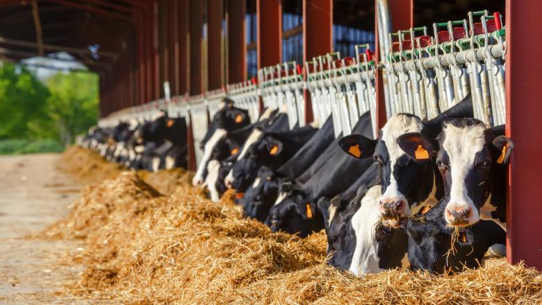 Vaci crescute a fermele din UE
