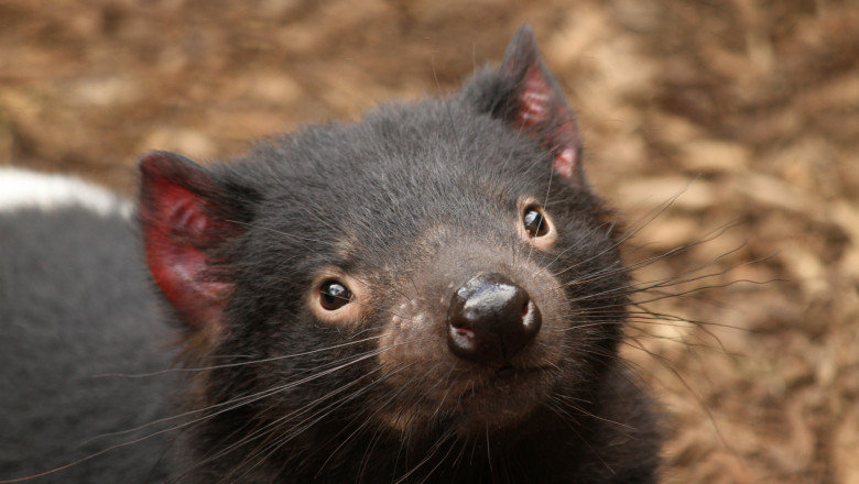 Diavolii tasmanieni au fost reintrodusi in Australia continentala