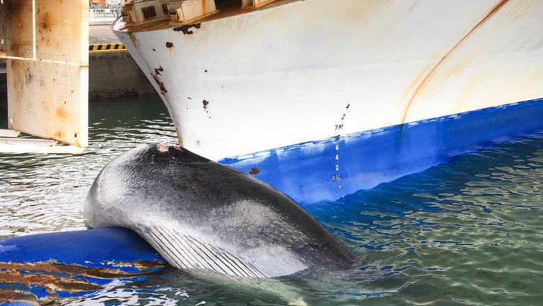 Balenă de 12 metri agățată și ucisă de un feribot