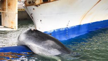 Balenă de 12 metri agățată și ucisă de un feribot, în Japonia. Momentul în care creatura uriașă este scoasă din apă