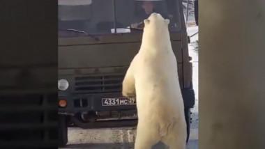 urși polari