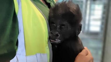 pui-de-gorila