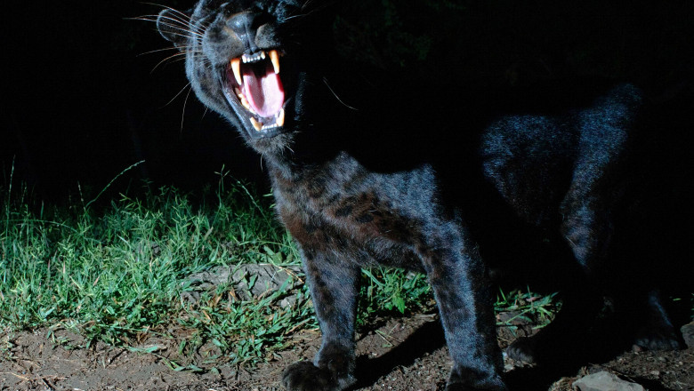Leopard negru sau panteră neagră