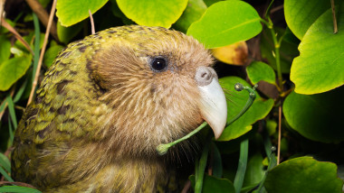 papagal Kakapo