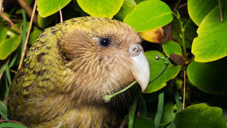 papagal Kakapo