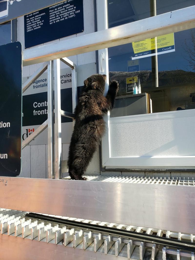 Un pui de urs flămând și subnutrit cere de mâncare într-un punct de frontieră dintre SUA și Canada