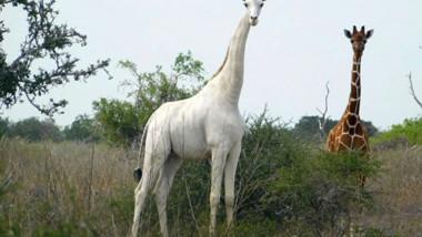 girafa-alba-kenya-profimedia-0505141841