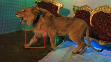 Polițiștii fac percheziții la locuința cântărețului de manele Dani Mocanu, în al cărui videoclip a apărut un leu rănit