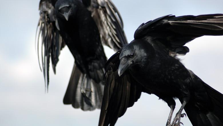 imagine cu doi corbi