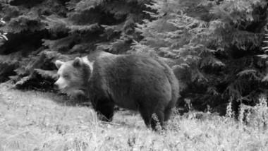 O cameră montată în sălbăticie a surprins mai mulți urși care se pregătesc de hibernare