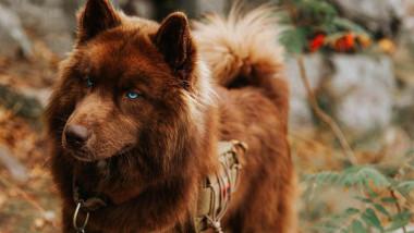 husky-maro
