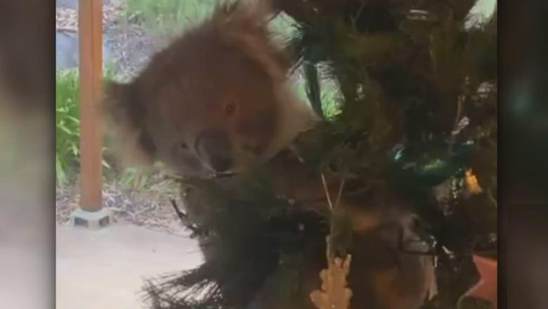 Surpriza unei familii din Australia care a găsit un koala în bradul de Crăciun