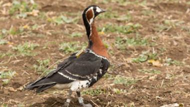 Victoria, pasărea rară rănită într-o comună din Ialomița, s-a întors în România după o călătorie de 13.000 de kilometri