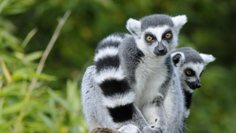 Lemurienii ar deține secretul hibernării