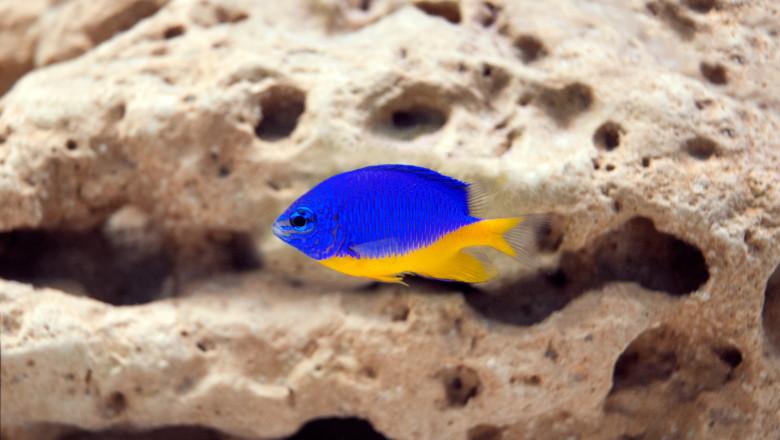 Exclusive marine fish in aquarium - Chrysiptera parasema