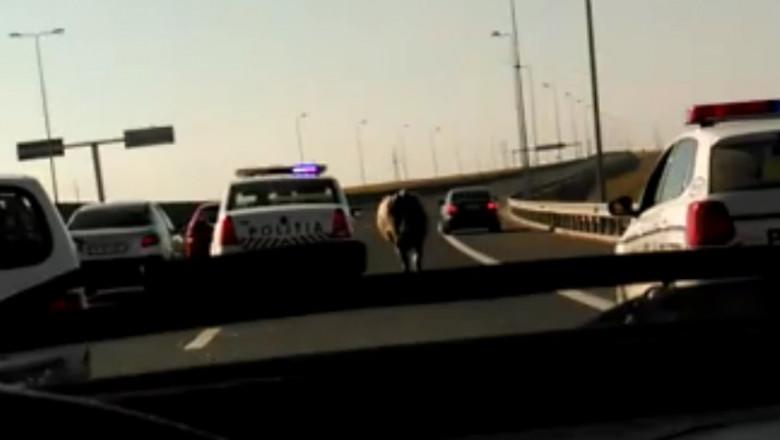 vaca autostrada