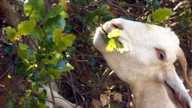 Goats Chew Away Dry Brush