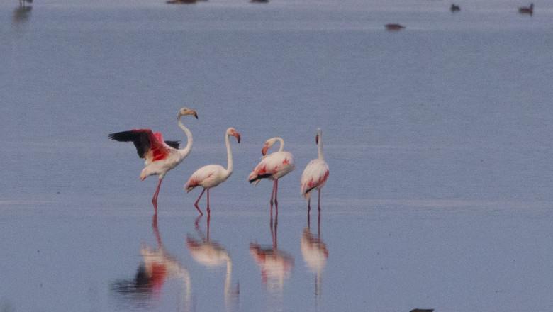 flamingo apa