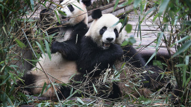 Newborn Cubs Bolster Panda Population In Sichuan Province