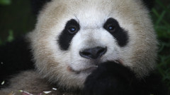 Giant Pandas Attract Visitors To Sichuan Province