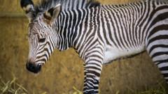 Hartmann's Mountain Zebra Born At Lyon Zoo