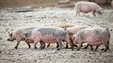 Russian Sanctions Threaten Pork Farmers