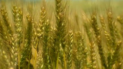 agricultura spic grau captura 19 08 2015