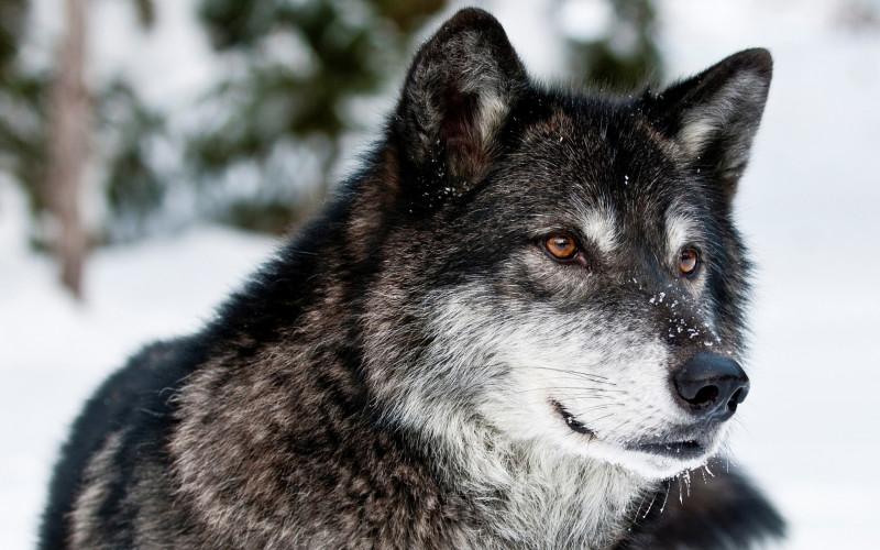 Gray-Wolf-1680x1050 wiki