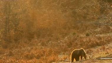 urs brun muntii carpati