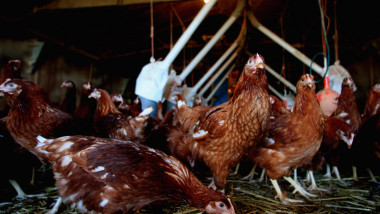 Poultry Placed Indoors Due To Deadly H5N1 Virus