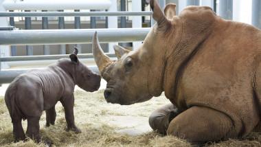 White Rhino Born At Disney's Animal Kingdom At Walt Disney World