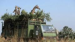 gigantica girafa