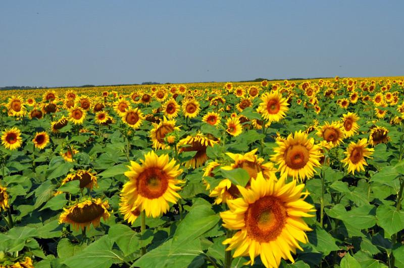 floarea-soarelui-1