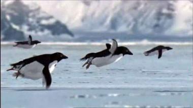 pinguini zburatori
