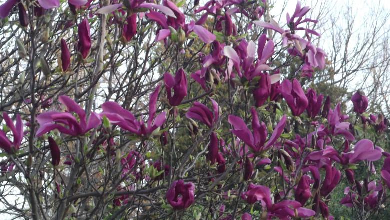 magnolie gb26