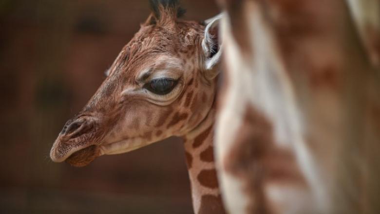 girafa - chester zoo